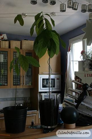 faire pousser un noyau d 39 avocat ciloubidouille. Black Bedroom Furniture Sets. Home Design Ideas