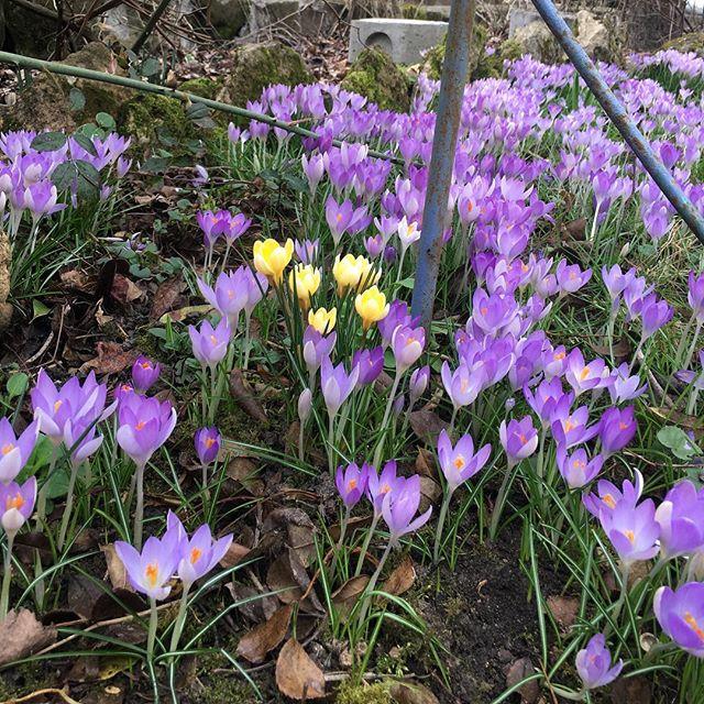 Dans le jardin de mon papa #flowers #instagalac