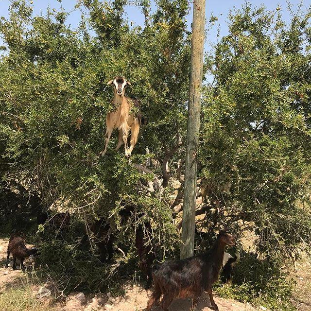 Et la spécialité du coin, les arbres à chèvres #essaouira #ciloubidouilleauMaroc