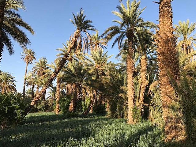Promenade dans la sublime palmeraie de Agdz, qui marque le commencement de la vallée du Drâa #agdz #ciloubidouilleauMaroc #palmeraie