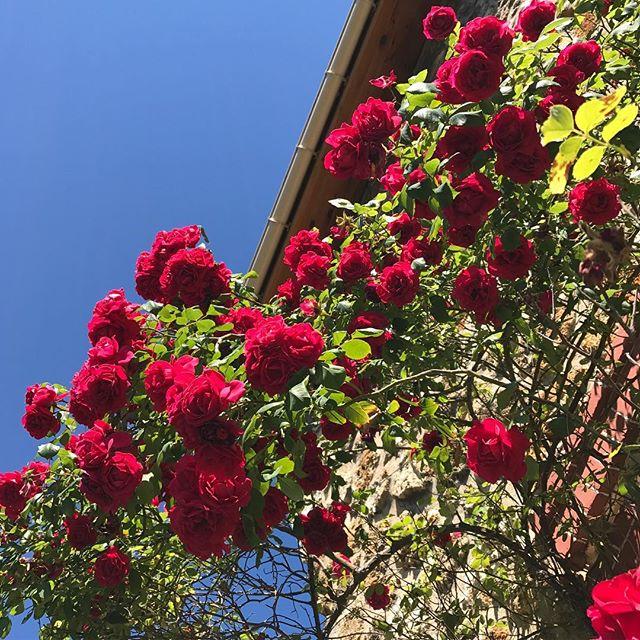 Mon incroyable rosier. Tous les ans c'est festival !