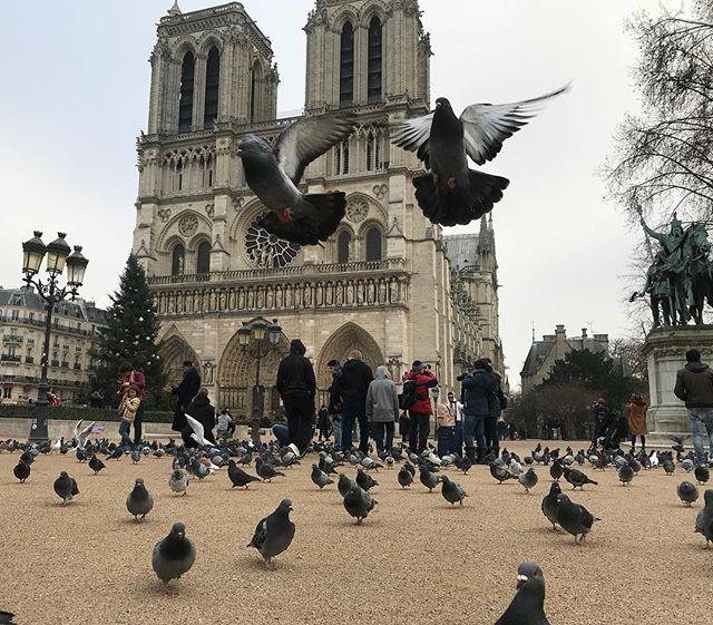 Les pigeons. En bonne parisienne, je râle contre leurs nuisances, je préviens mes enfants contre leur hygiène de rat volant. Mais ils font aussi partie de ma ville. J'aime leur courage effronté, j'aime leur adaptabilité, j'aime leur stratégie de terrain... pis ce sont des oiseaux, tout simplement. Et c'est chouette un oiseau non ? #paris #notredamedeparis