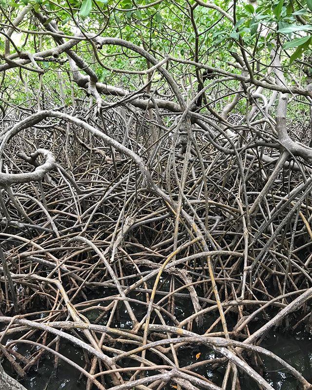 Un point commun entre la mangrove et moi ? Personne n'utilise de peigne visiblement... #mangrove #cilouenmartinique #martinique