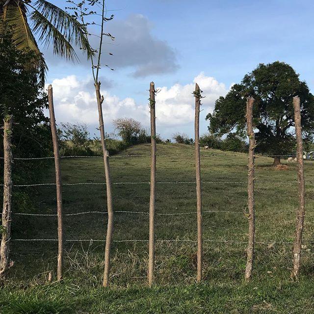 La Martinique est un pays tellement luxuriant que les piquets des clôtures se remettent à pousser ! #incroyablenature #martinique #cilouenmartinique