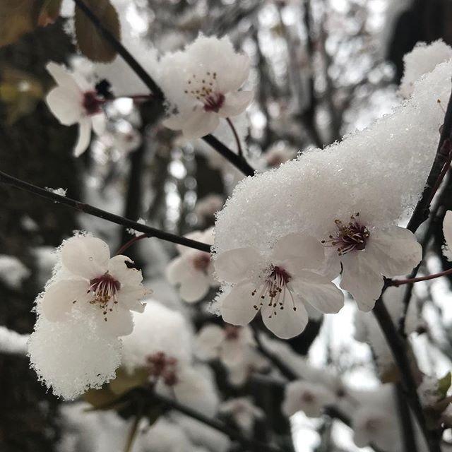 «Hiver ? Printemps ? Mais pourquoi choisir? » se disait le Créateur assis sur son nuage, en remuant son verre d'ambroisie. (Sans doute parce que j'avais semé de la pelouse BORDAYL et que là les graines sont en train de se les peler et nous avec !!). Libérez le printemps ! Libérez le printemps !!!