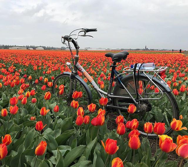 Pédaler entourée de tous ces champs de fleurs !!! Quelle chance, quelle beauté ! #hollande #cilouenhollande #tulipes #netherlands