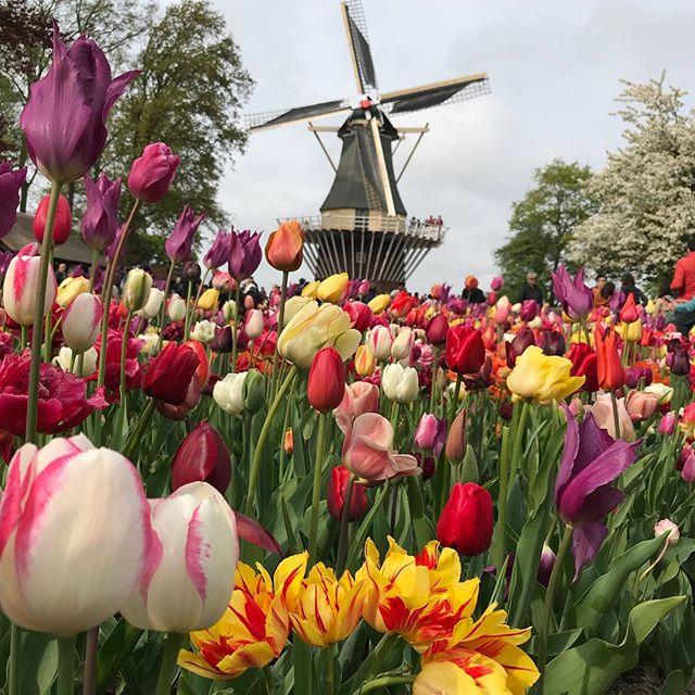 Moulin touristique du parc floral de Keukenhof #hollande  #cilouenhollande #keukenhofgardens #mill #moulin