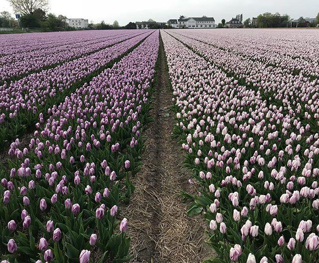Merci jolie Hollande pour toutes ces couleurs, ces champs de fleurs improbables qui donnent envie de stopper son vélo toutes les 5 mn ! #cilouenhollande #hollande #nertherlands #tulipes