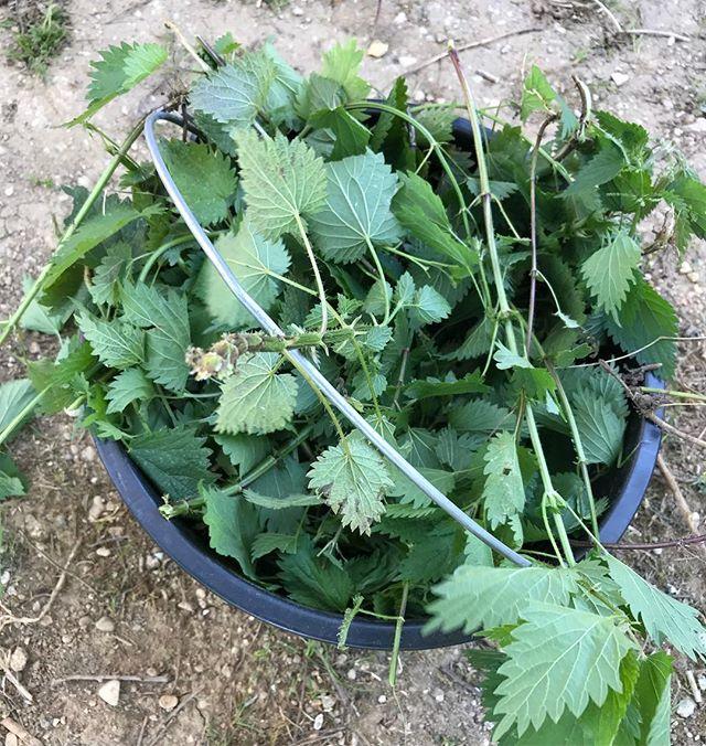 Purin d'orties en cours. J'ai mandaté Elouan qui arrache toutes les orties du jardin (et il y en a) pour fabriquer un anti-puceron naturel. Jamais testé alors si vous avez des conseils, je prends. #jardinage #ortie #purindortie #bio