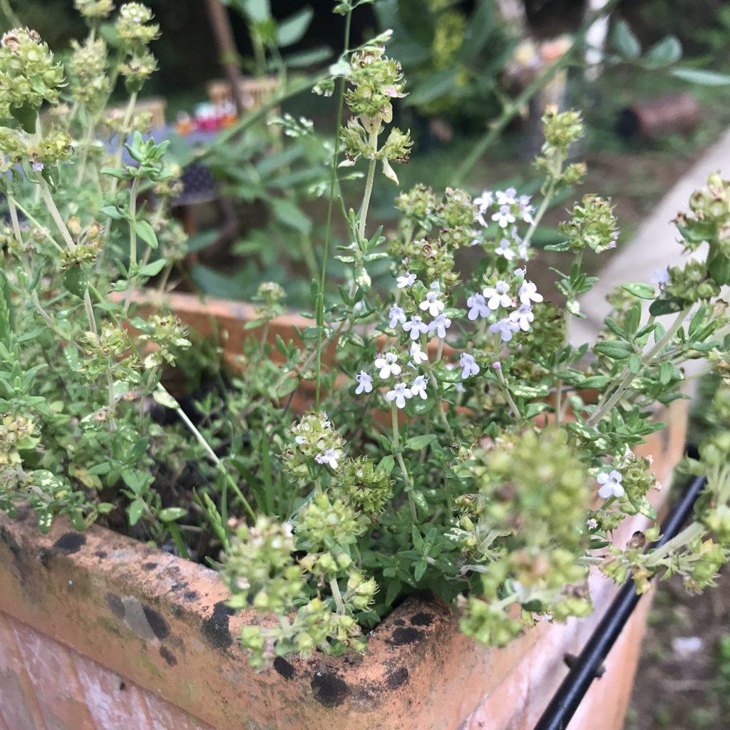 thym frais du jardin