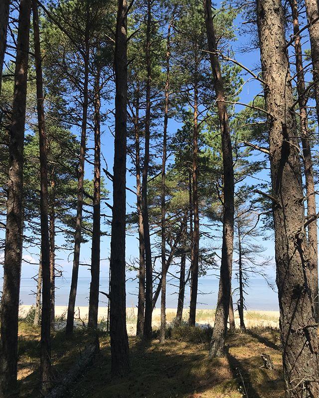 Je suis amoureuse des forêts de pins. J'aime ces arbres déguingandés, montés sur d'uniques jambes. Infinité bidimentionnelle, ils s'étendent loin et grimpent haut. Et quand le ciel est bleu, la mousse verte, le sable blond, on frise la perfection ! Nous sommes à Kolka, la pointe sauvage de la Lettonie, qui sépare la mer baltique du golfe de Riga. C'est superbe (sauf l'eau étrangement qui est recouverte de vase et d'algues, difficile d'avoir envie de se tremper malgré la chaleur). Alors on marche à l'ombre en longeant la côte. La Lettonie ressemble à plein de contrées connues, sauf pour ses maisons en bois, que je n'ai jamais trop rencontrées (ca fait nordique selon moi). Faut que je prenne le temps de les photographier mais souvent on roule. Je ne regrette pas la destination de ces vacances pour le moment. #lettonie #cilouinlettonie #latviatravel #latvia #kolka