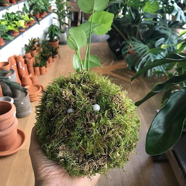Atelier Kokedama chez @ikebanart ! J'aime tellement ces sphères de mousse (traduction littérale de ce mot japonais). Ce n'est pas encore fini mais j'aime bien sa bouille qui se marre ! #kokedama #plantesuspendue #jardinage #japon
