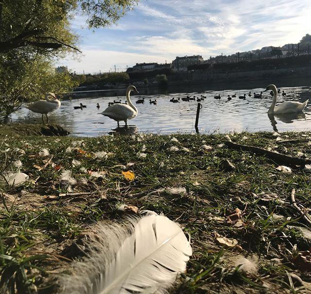 Le matin, quand je marche le long de la Seine, je croise des signes. Heu... des cygnes ! J'habite en ville mais je me sens si souvent à la campagne tellement il y a la nature partout !  #lebonheurestenbanlieue #cygne #signe #marrant