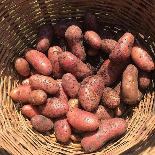 Récolte de patate maison