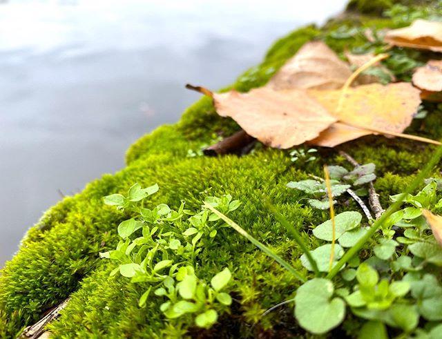 Passion mousse. J'aime prendre le temps de photographier le joli quand je me promène au bord de la Seine. C'est tellement beau ce microcosme. Bon dimanche à tous. Au programme : faire la sieste, terminer mon troisième calendrier de l'avent (je vous montre le second demain), finir mon livre et faire un feu de cheminée. Et chez vous ? Quels sont les projets ? #lesplantesdeciloubidouille #mousse #sphaigne #nature #automne