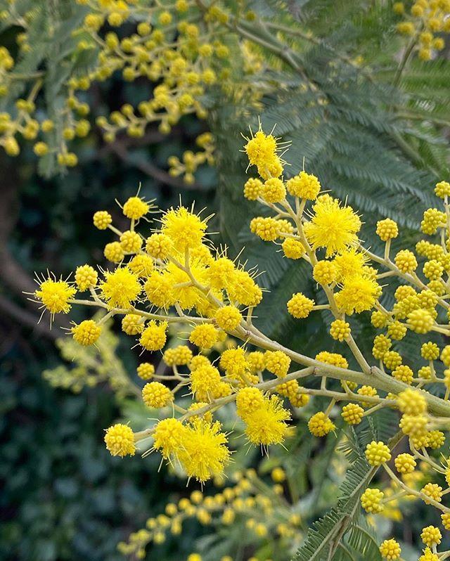 Mimosa du jardin - C'est mon amie @pouce_net qui me l'a offert quand on a emménagé. Je l'avais planté près de la maison. Sous vos conseils, je l'ai déménagé au fond du jardin parce qu'il parait que ses racines sont puissantes et peuvent causer des dégats. En tout cas, je l'adore et sa touche de jaune ravit mes yeux ! #mimosa #lesplantesdeciloubidouille