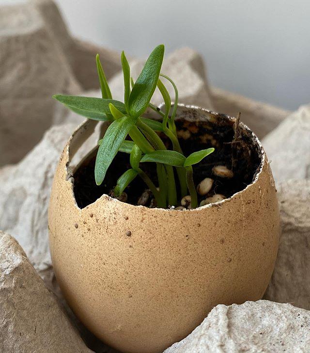Replanter les graines d'un poivron du commerce