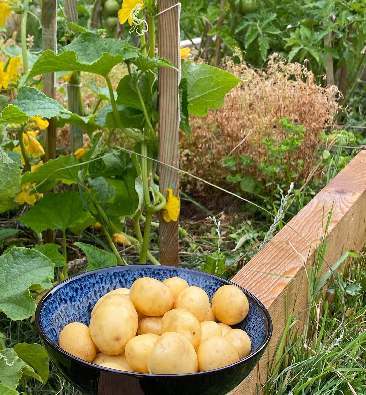Patate de luxe - Cette année, j'ai testé deux façons de cultiver des pommes de terre. Plein de plans m'attendent, directement dans la terre. Mais j'ai aussi réutilisé mes sacs à cultures achetés l'année dernière. Ce que vous voyez est le contenu d'un sac où dedans il y avait 4/5 pieds. Je ne sais pas bien si on est dans le bon rendement mais c'est clairement une récolte rigolote à faire. On verra si mes plans en terre sont plus généreux :). #pommedeterre #jardinage #lesplantesdeciloubidouille
