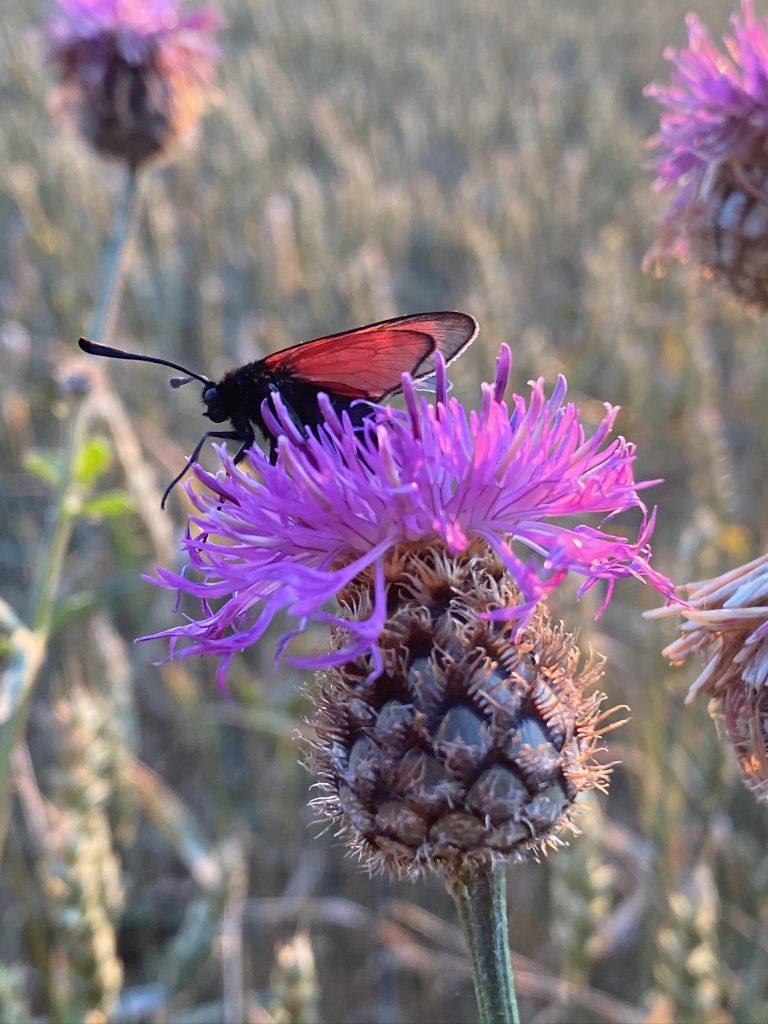 chardon papillon