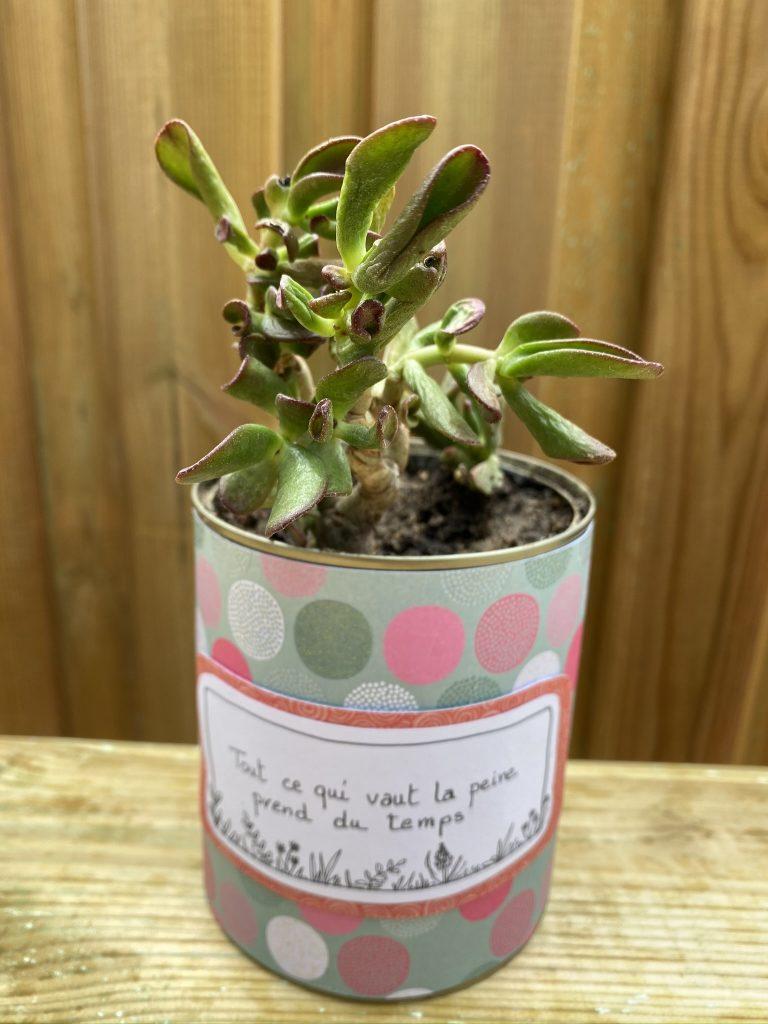 Crassula ovata hobbit plante verte grasse