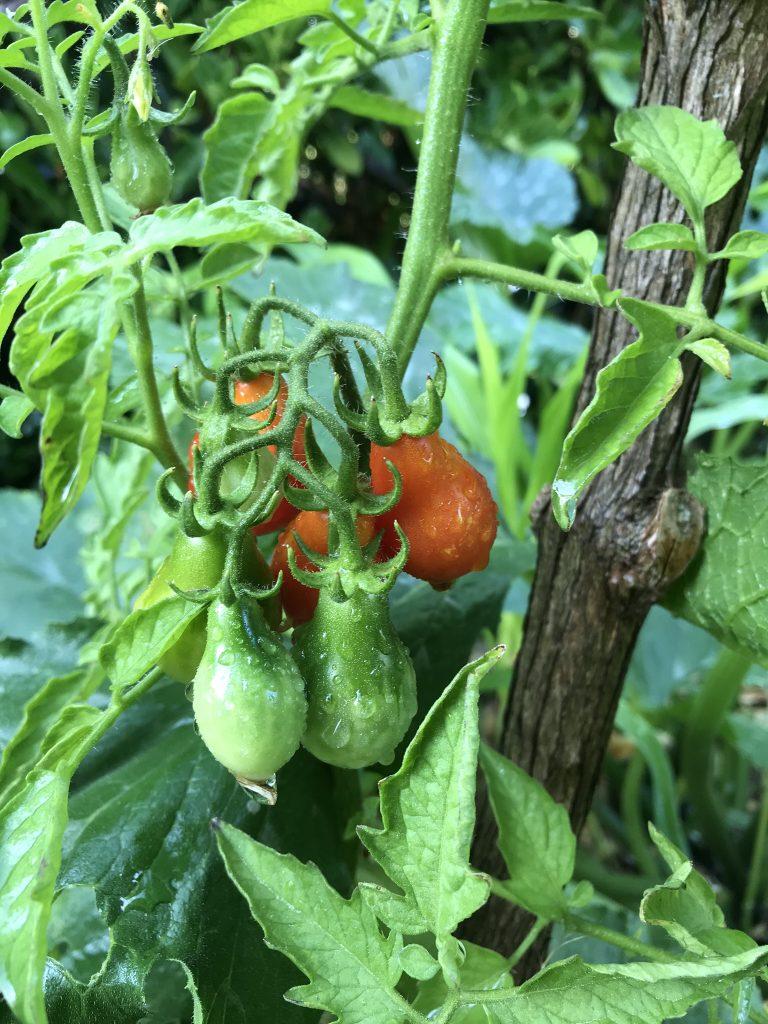 tomates potager amateur