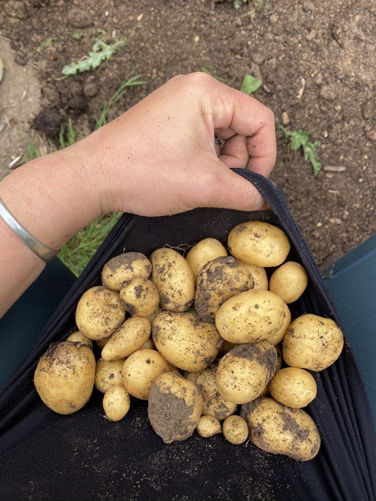 pomme de terre du potager